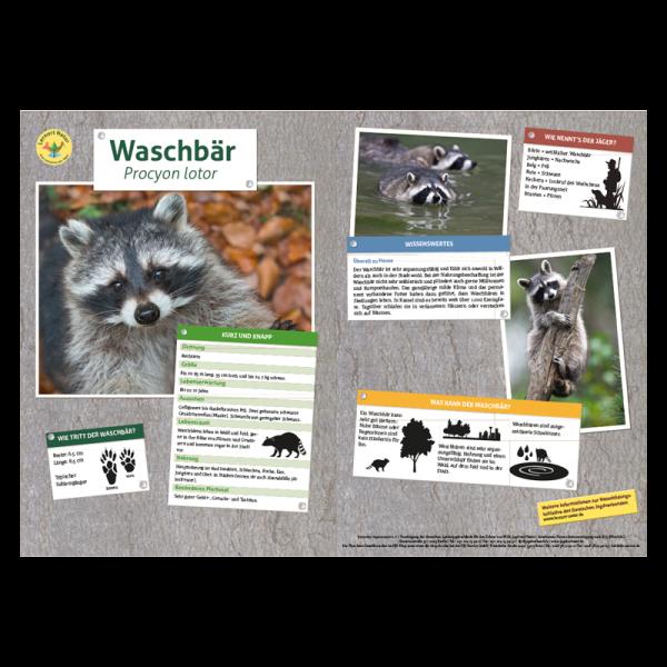 Lernort Natur-Tiertafel DIN A3 Waschbär